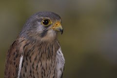 European Kestrel Stock Images