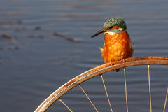European kingfisher, Alcedo atthis Royalty Free Stock Image