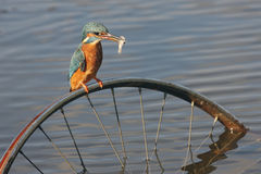 European kingfisher, Alcedo atthis Stock Photography