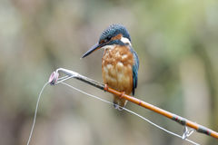 European kingfisher, Alcedo atthis Stock Photos