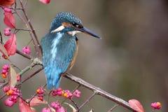 European kingfisher, Alcedo atthis Stock Photography
