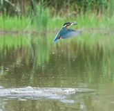 European Kingfisher with prey Royalty Free Stock Photography