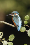 European kingfisher, Alcedo atthis Royalty Free Stock Photos