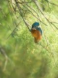 European Kingfisher Stock Photo