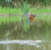 European Kingfisher with prey Royalty Free Stock Image