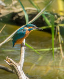 European Kingfisher with prey Royalty Free Stock Photos