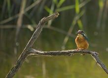 European Kingfisher with prey Stock Photos