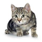 European kitten (3 months) Royalty Free Stock Image