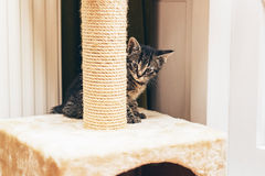 European kitten hiding behind the scratching post Royalty Free Stock Image