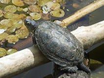 Free European Land Turtle Stock Photography - 5834122