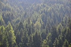 European larch Stock Photos