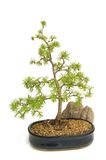 European larch. Bonsai isolated on white background Stock Images