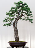 European Larch as bonsai Stock Photography