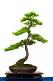 European larch as bonsai tree Royalty Free Stock Images