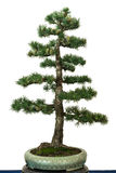 European larch as bonsai tree Stock Photo