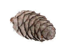 European larch cone Royalty Free Stock Photos