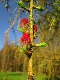 European larch. Eruropean larch larix decidua branch with female pink cones and young needles Royalty Free Stock Photography