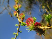 European larch. Eruropean larch larix decidua branch with female pink cones and young needles Royalty Free Stock Photo