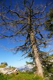 European larch in the Julian Alps Royalty Free Stock Photo