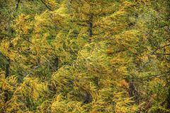 European larch Larix decidua branches with yellow coloured fir in autumn in strong wind. Abstract natural / windy background.  stock images