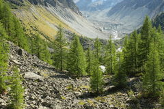 european larch trees growing in valley in Switzerland Stock Photography