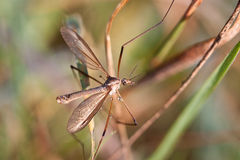 European Large Crane Fly, Tipula maxima Royalty Free Stock Photo