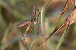 European Large Crane Fly, Tipula maxima Royalty Free Stock Image