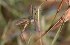 European Large Crane Fly, Tipula maxima royalty free stock image