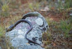European legless lizard Pseudopus apodus in Paklenica Croatia stock photography