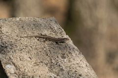 European lizard on a concrete wall stock image