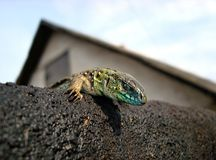 Lizard peeping out from behind a stone Royalty Free Stock Photography