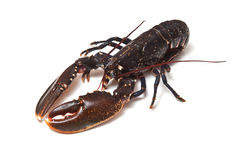 European Lobster Stock Image