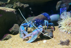 European Lobster - Homarus gammarus Royalty Free Stock Image