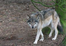 Wolf Portrait in the Forest - staring at me royalty free stock photography