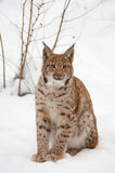 European lynx Royalty Free Stock Photography