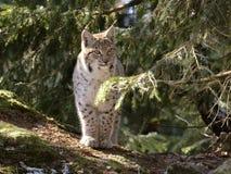European lynx Royalty Free Stock Images