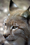 European Lynx 2 Stock Photo