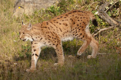 European lynx Royalty Free Stock Image