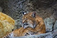 European lynx. (Lynx lynx) in the Moscow zoo Royalty Free Stock Photos