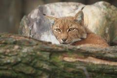European lynx. Behind the wood trunk Stock Image