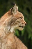 European lynx. Portrait of European lynx (Bialowieza, Poland Royalty Free Stock Photos