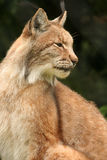 European lynx Stock Photography