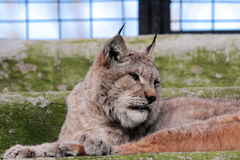European lynx in the cage of a zoo. Portrait of a european lynx (lynx lynx) resting in the cage of a zoo Royalty Free Stock Photo