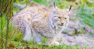 European lynx cat lies in the forest at early winter Royalty Free Stock Photography