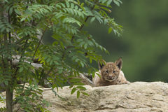 European Lynx cub Royalty Free Stock Photo