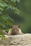 European Lynx cub Royalty Free Stock Photography
