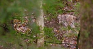 European lynx cub sneaks in the forest stock footage