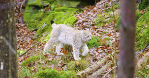 European lynx cub walking in the forest Royalty Free Stock Photo