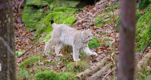 European lynx cub walking in the forest stock video footage