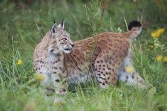 European lynx Royalty Free Stock Photo